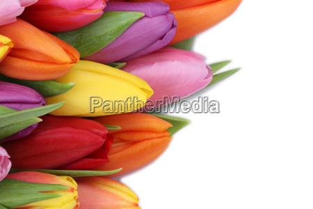 tulipaner blomster i foraret eller mors
