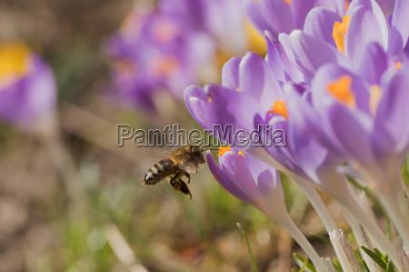 naerbillede af bi der kommer til