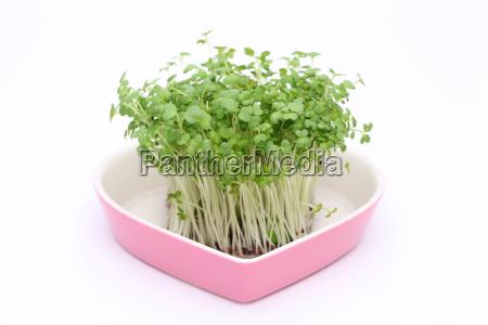 dyrkning salat sennep cress
