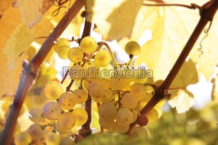riesling druer