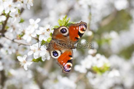 insekt sommerfugl forarsbebuder caterpillar pafugl