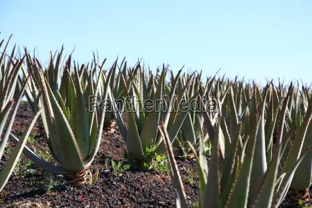 kanariske øer, de kanariske øer, lægeplante, plante, vækst, ø - 14133133