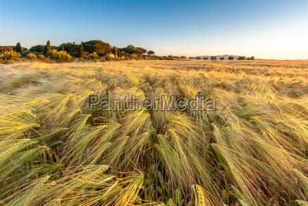 ung hvede vokser i gron gard
