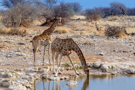 giraffa camelopardalis drikker fra vandhullet i