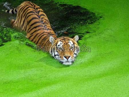 siberian tiger svomning i vand