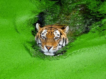 gron gront gronne kat tiger skind