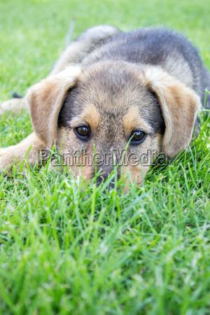 dyr husdyr kaeledyr brun lille betydningslos