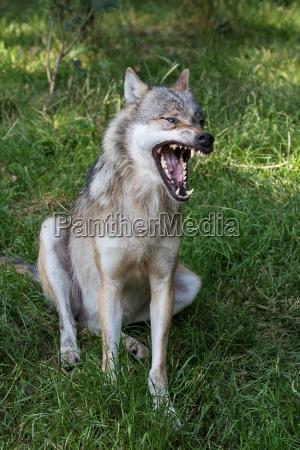 mund taender aben ulv nogne individuelt
