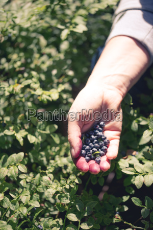 bla frugt traefrugt solfanger indsamle skov