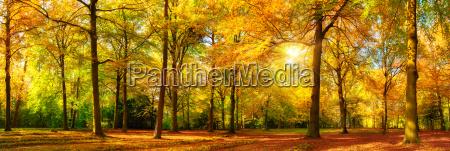 autumn forest panorama in golden sunshine