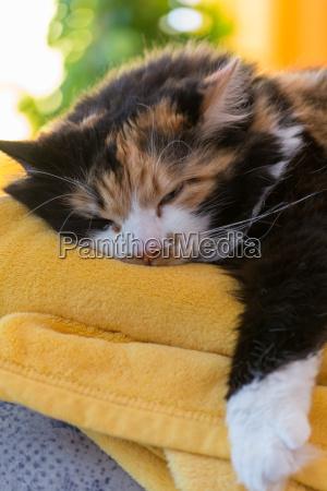 mehrfarbige katze entspannt
