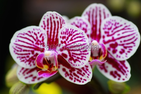 pink white orchid flower