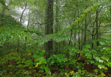 lovfaeldende skov i regnen og drabe