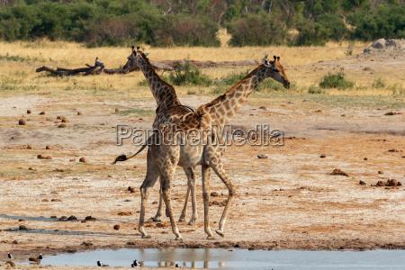 giraffa camelopardalis drikker i nationalpark hwankee