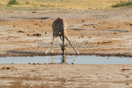 afrika wildlife giraf