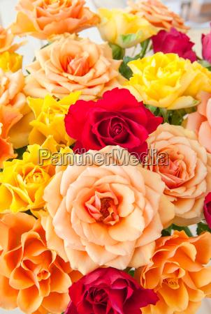 farverige roser