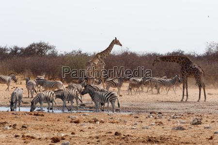 dyr afrika namibia wildlife safari