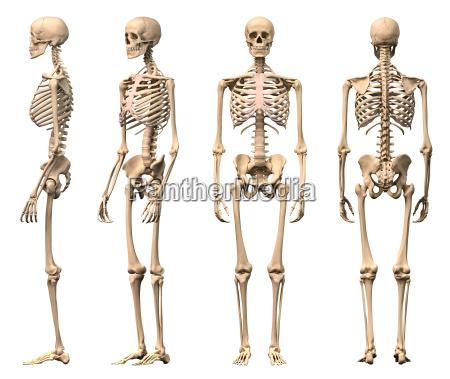 mand menneske skelet fire visninger forside