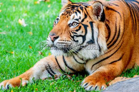 pre pounce tiger