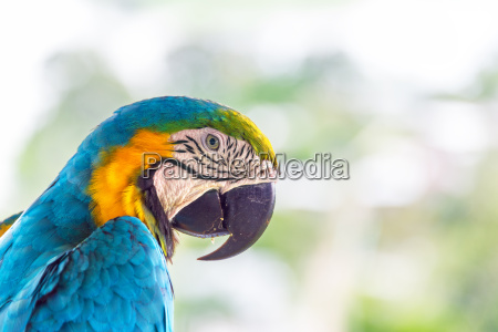 bla og gul macaw naerbillede