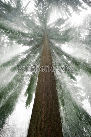 spruce with majestic beams in winter