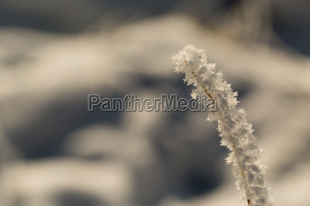 blade of grass in winter with
