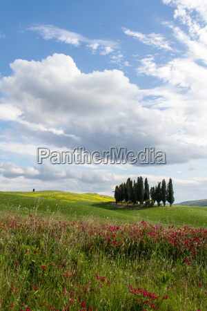 tuscan cypress group and flowers in