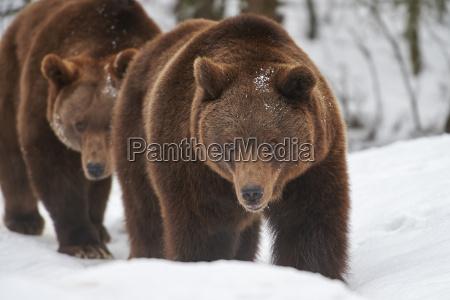 brune bjorne i sneen