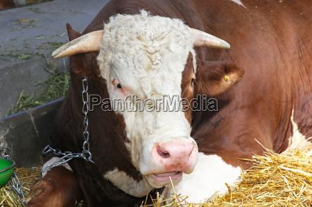 dyr tyr landbrug agerbrug ko kvaeg