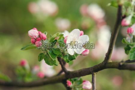 hvide blomster blomstrende pa gren