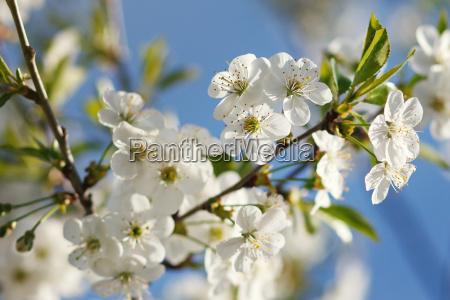 hvide blomster der blomstrer pa gren