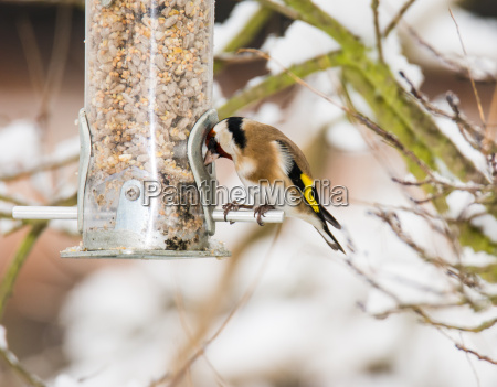 european goldfinch at a bird feeder