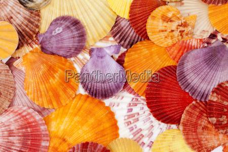 baggrund med farverige havskaller af bloddyr