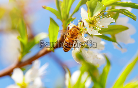 lille bi pa blomstrende trae