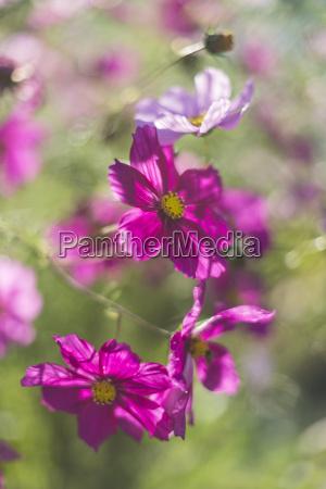 farve kosmos blomst plante vaekst blomstre