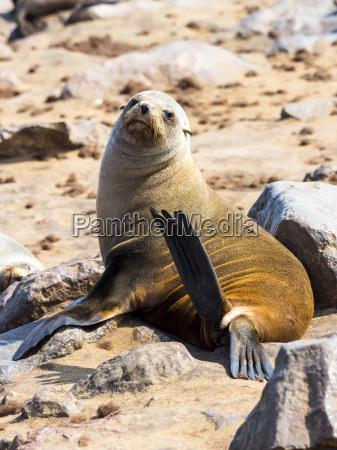 farve dyr pattedyr afrika namibia udendore