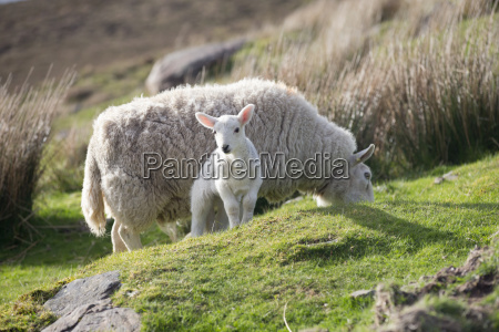 sheep and lamb grazing on moorland