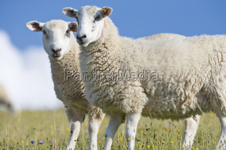two sheep in rural field