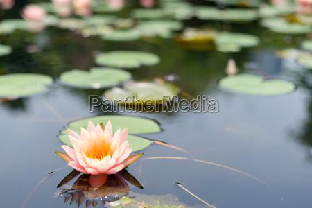 lotus blomst planter