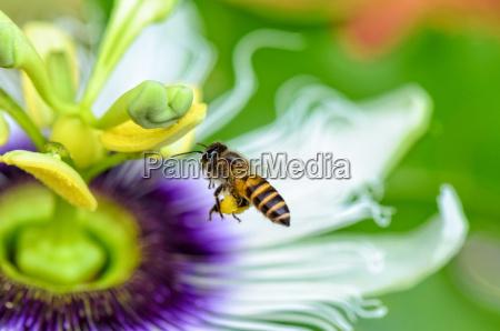 bi flyver over blomster