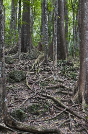 mahogni skov meliaceae