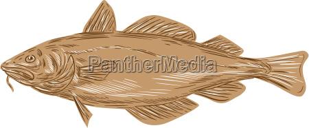 atlanterhavs torsk codling fisk tegning