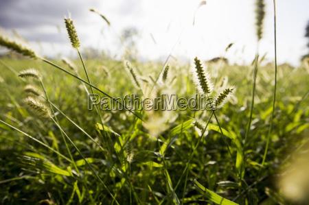 naerbillede af solbeskinnede lange graesser pa
