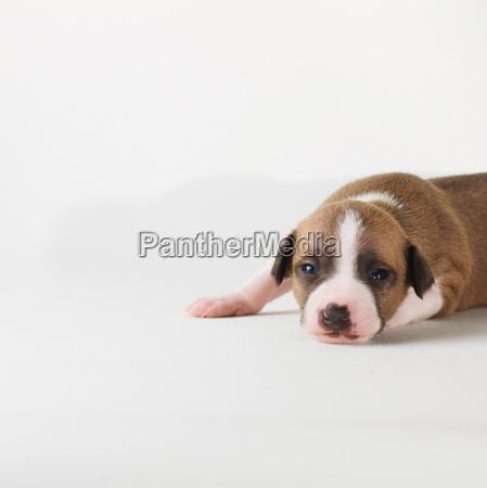 dog, lying, on, white, background - 18424616