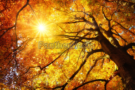 majestic beech in autumn the tree