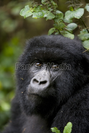 mountain gorilla gorilla gorilla beringei rwanda