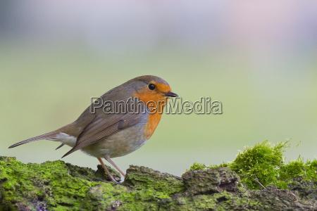 songbird sangfugle robin
