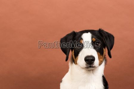 hund ansigt pa rod baggrund