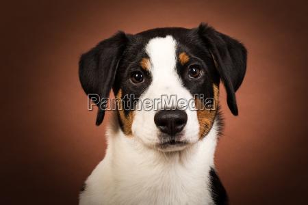 appenzeller sennenhund portraet