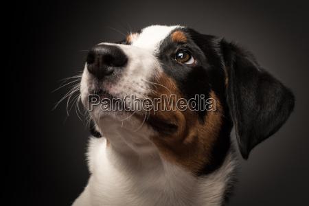 appenzeller sennenhund i portraet pa sort